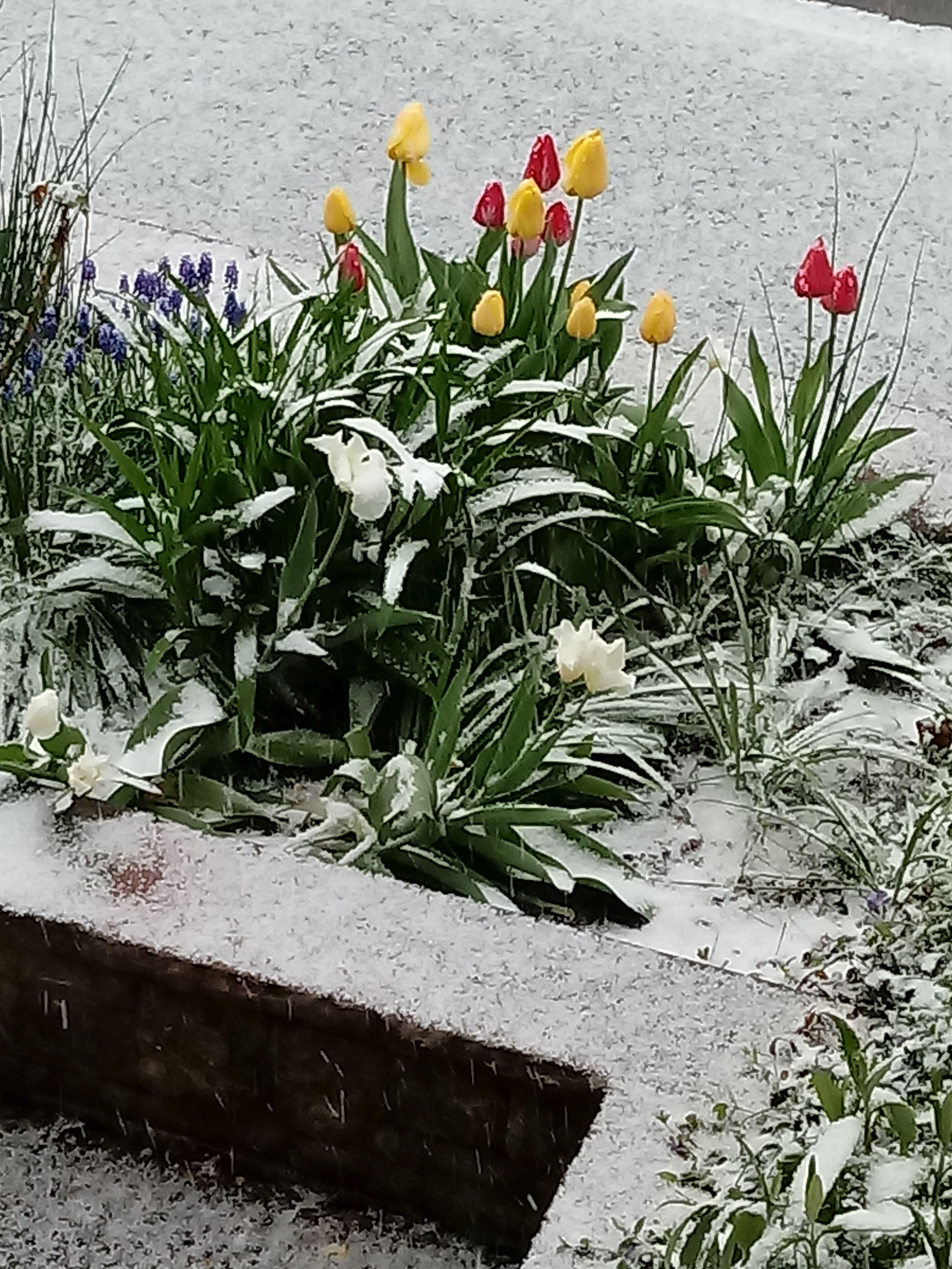 18.04. schnee aud Tulpen